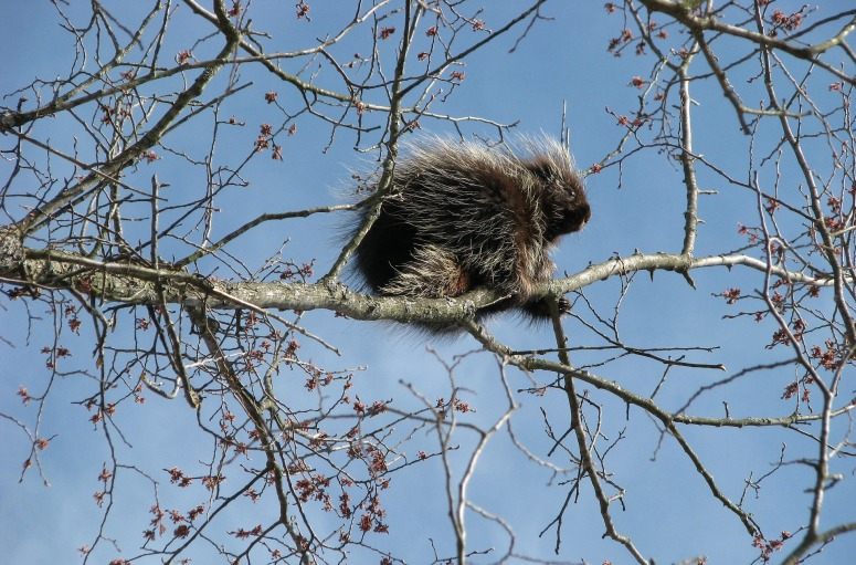canada-porcupine-1554951_1920.jpg